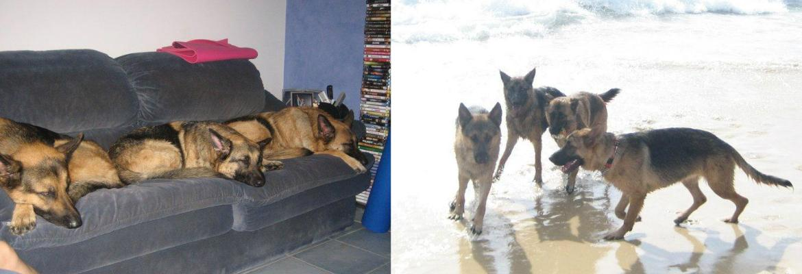 gold coast pet sitting - german shepherds at rest and play